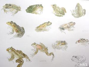 蛙のイラスト入りの直筆サイン色紙