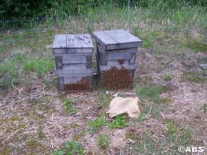 巣碑を取るとき外に出ちゃった蜂たち