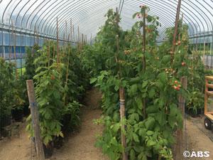 キイチゴ畑2