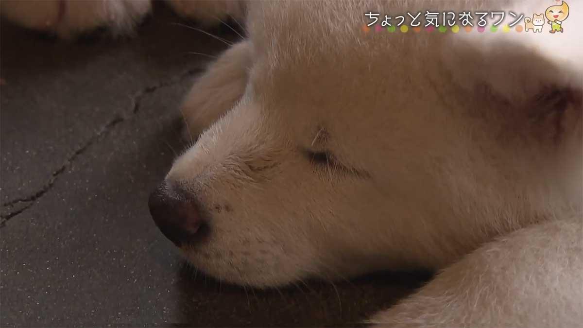 秋田犬・マサルが育った犬舎・「幸寿荘」