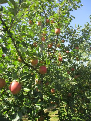 リンゴの木
