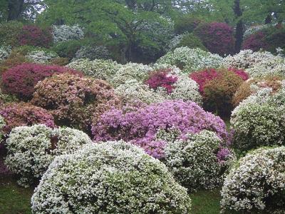 千秋公園のつつじが綺麗ですよ