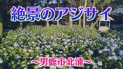 雲昌寺のアジサイ(男鹿市)