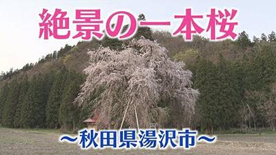 【秋田 桜の名所】湯沢市・おしら様