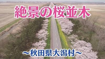 【秋田 桜の名所】大潟村・菜の花ロード