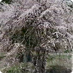 秋田 花の絶景